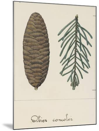 Branch and Pine Cone of White Fir (Abies Concolour), Pineceae--Mounted Giclee Print