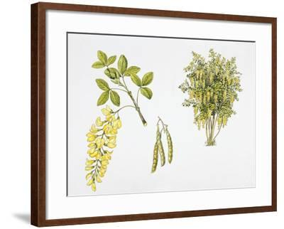 Laburnum Anagyroides Plant with Flower, Leaf and Fruit--Framed Giclee Print