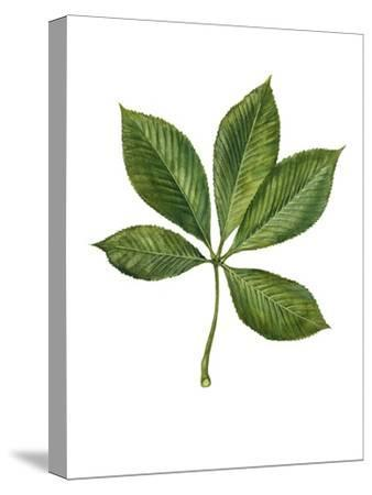 Sapindaceae Leaf of Yellow Buckeye Aesculus Flava--Stretched Canvas Print