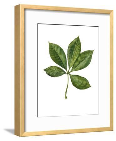Sapindaceae Leaf of Yellow Buckeye Aesculus Flava--Framed Giclee Print