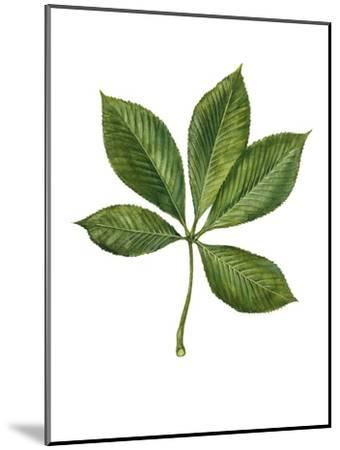 Sapindaceae Leaf of Yellow Buckeye Aesculus Flava--Mounted Giclee Print