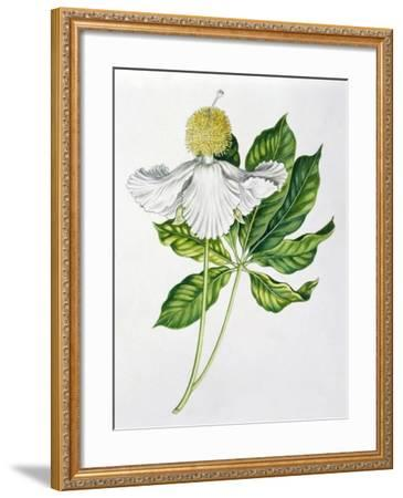 Bombacaceae or Malvaceae Flowers and Leaves of Baobab Adansonia--Framed Giclee Print