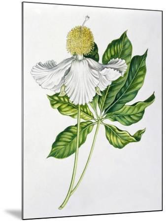 Bombacaceae or Malvaceae Flowers and Leaves of Baobab Adansonia--Mounted Giclee Print