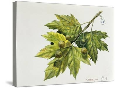 Platanaceae, Leaves and Fruits of Planes Platanus--Stretched Canvas Print