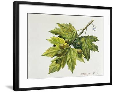 Platanaceae, Leaves and Fruits of Planes Platanus--Framed Giclee Print