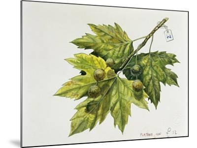 Platanaceae, Leaves and Fruits of Planes Platanus--Mounted Giclee Print