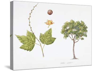 Croton Goudotii Plant with Flower, Leaf and Fruit--Stretched Canvas Print