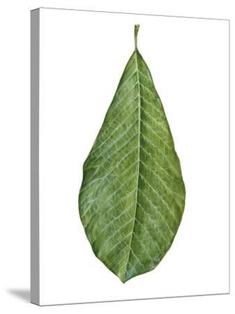Leaf of Saucer Magnolia Magnolia X Soulangeana--Stretched Canvas Print