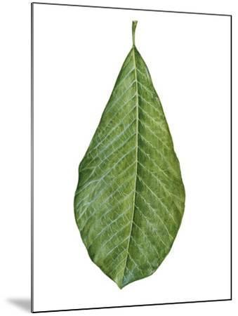 Leaf of Saucer Magnolia Magnolia X Soulangeana--Mounted Giclee Print