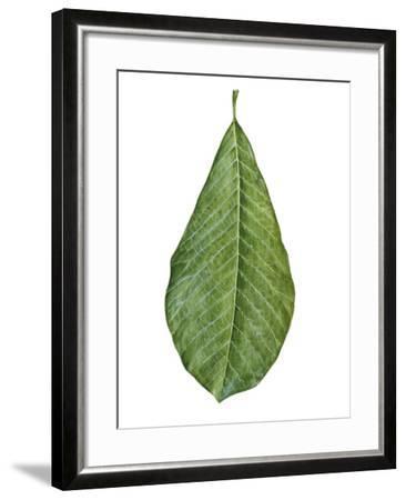 Leaf of Saucer Magnolia Magnolia X Soulangeana--Framed Giclee Print