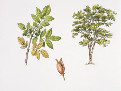 Weinmannia Rutenbergii Plant with Flower, Leaf and Fruit--Framed Giclee Print