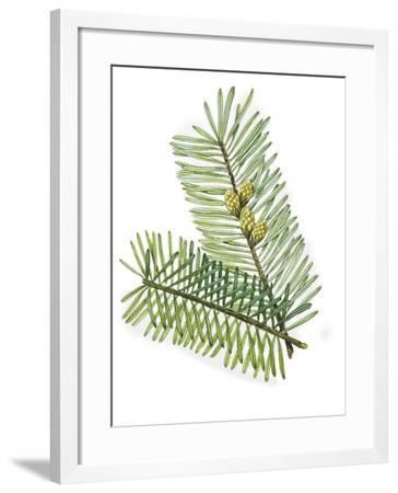 Pinaceae Leaves and Cones of European Silver Fir Abies Alba--Framed Giclee Print
