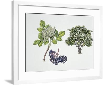 Close-Up of a Bunch of Elderberries with a Branch and Shrub--Framed Giclee Print