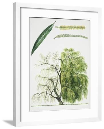 Willow (Salix L.)--Framed Giclee Print