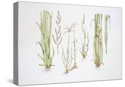 Graminaceae, Weed--Stretched Canvas Print