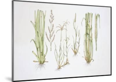 Graminaceae, Weed--Mounted Giclee Print