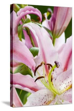 Lilium 'Stargazer', Hunky Dory Garden, Holtsfield, Murton, S.Wales, UK--Stretched Canvas Print