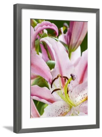 Lilium 'Stargazer', Hunky Dory Garden, Holtsfield, Murton, S.Wales, UK--Framed Photographic Print