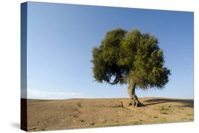 Old Khejri Tree in Desert, Bap (Aka. Baap), Rajasthan, India--Stretched Canvas Print