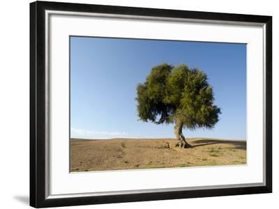 Old Khejri Tree in Desert, Bap (Aka. Baap), Rajasthan, India--Framed Photographic Print