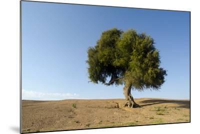 Old Khejri Tree in Desert, Bap (Aka. Baap), Rajasthan, India--Mounted Photographic Print