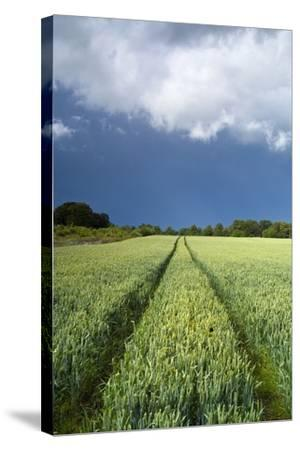 Wheatfield with Tractor Track, Near Belsay, Northumberland, UK--Stretched Canvas Print
