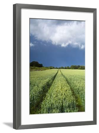 Wheatfield with Tractor Track, Near Belsay, Northumberland, UK--Framed Photographic Print