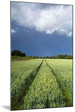 Wheatfield with Tractor Track, Near Belsay, Northumberland, UK--Mounted Photographic Print