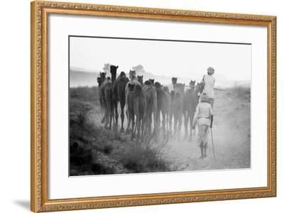 Herd of Camels, Pushkar Fair, Rajasthan, India, 1976--Framed Photographic Print