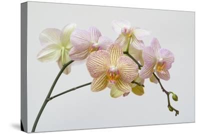 Moth Orchid (Phalaenopsis Lundy) Epiphyte--Stretched Canvas Print