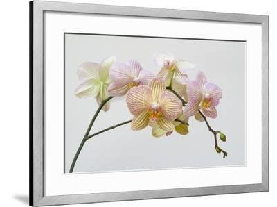 Moth Orchid (Phalaenopsis Lundy) Epiphyte--Framed Photographic Print