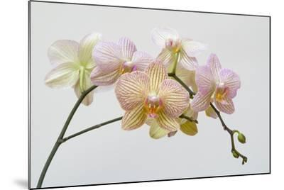 Moth Orchid (Phalaenopsis Lundy) Epiphyte--Mounted Photographic Print