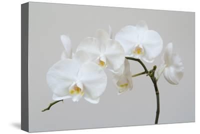 Moth Orchid (Phalaenopsis) Epiphyte--Stretched Canvas Print