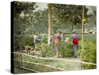 Picking Tea, C.1880--Stretched Canvas Print