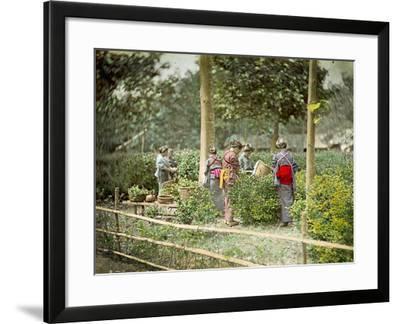Picking Tea, C.1880--Framed Photographic Print