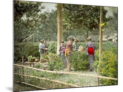 Picking Tea, C.1880--Mounted Photographic Print