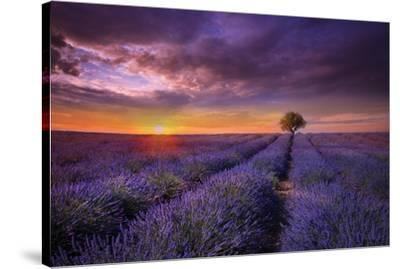 Lavender at Sunset-Marco Carmassi-Stretched Canvas Print