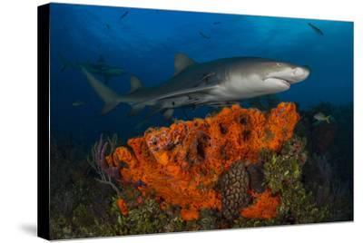 A Lemon Shark and Other Fishes Swimming over a Reef-Jim Abernethy-Stretched Canvas Print