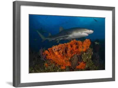 A Lemon Shark and Other Fishes Swimming over a Reef-Jim Abernethy-Framed Photographic Print