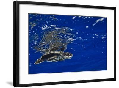 A Leatherback Sea Turtle Hatchling Swimming at the Water's Surface-Jim Abernethy-Framed Photographic Print