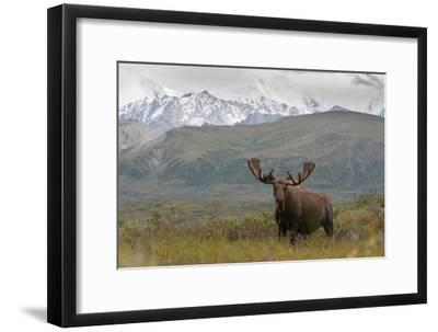 A Bull Moose, Alces Alces, in Denali National Park-Barrett Hedges-Framed Photographic Print