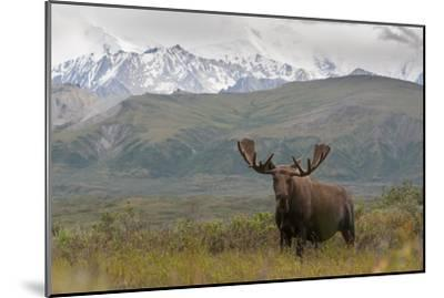 A Bull Moose, Alces Alces, in Denali National Park-Barrett Hedges-Mounted Photographic Print
