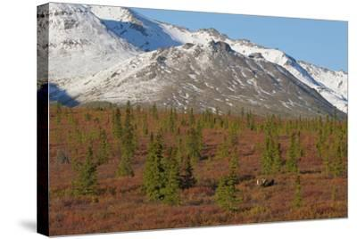 A Bull Moose, Alces Alces, Walks Through the Tundra of Denali National Park-Barrett Hedges-Stretched Canvas Print