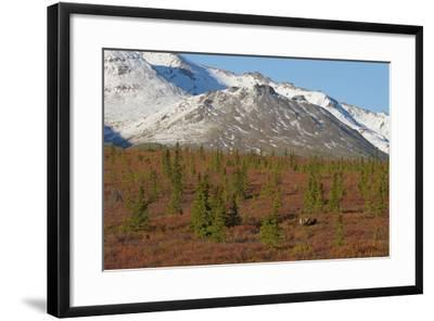 A Bull Moose, Alces Alces, Walks Through the Tundra of Denali National Park-Barrett Hedges-Framed Photographic Print