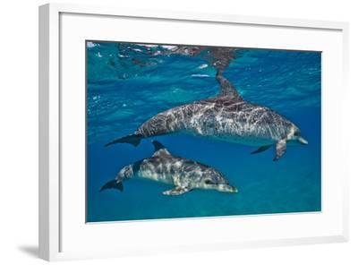 Two Atlantic Spotted Dolphins Swimming in Clear Water-Jim Abernethy-Framed Photographic Print