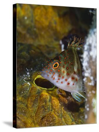 A Red Spotted Hawkfish Hiding Among Sponges-Jim Abernethy-Stretched Canvas Print