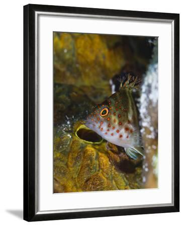 A Red Spotted Hawkfish Hiding Among Sponges-Jim Abernethy-Framed Photographic Print