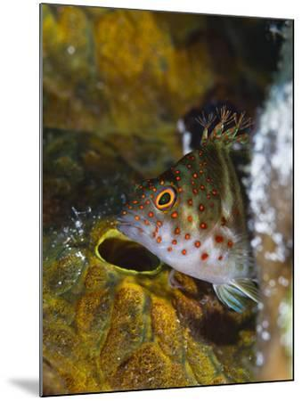 A Red Spotted Hawkfish Hiding Among Sponges-Jim Abernethy-Mounted Photographic Print