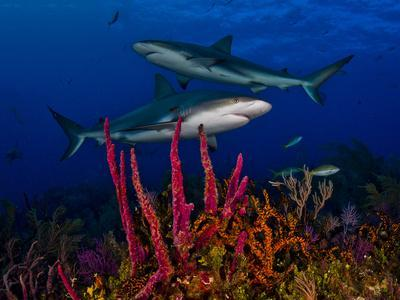 Caribbean Reef Sharks Swimming over a Colorful Reef-Jim Abernethy-Framed Photographic Print