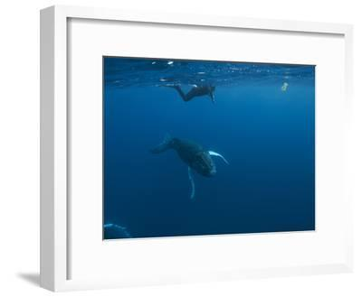 A Snorkeler Swims with a Humpback Whale Calf-Cesare Naldi-Framed Photographic Print